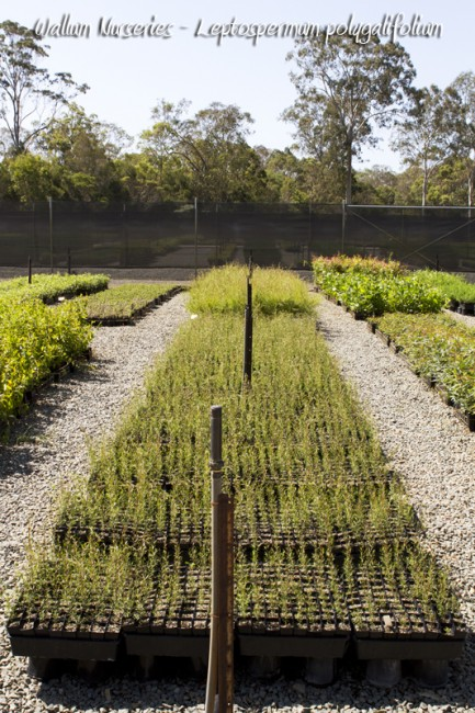 gold coast native planting guide