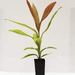 RED FRUITED PALM LILLY
