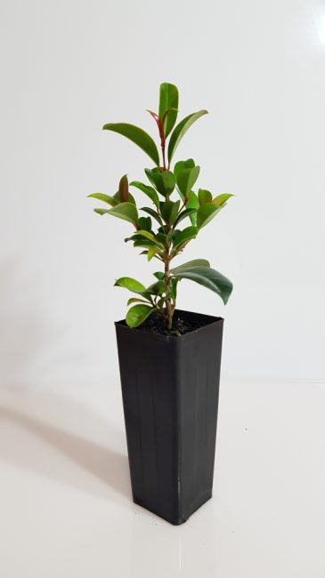 Syzygium 'Resilience'